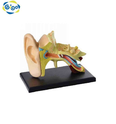Picture of Gigo Ear Anatomy Model 14Pcs