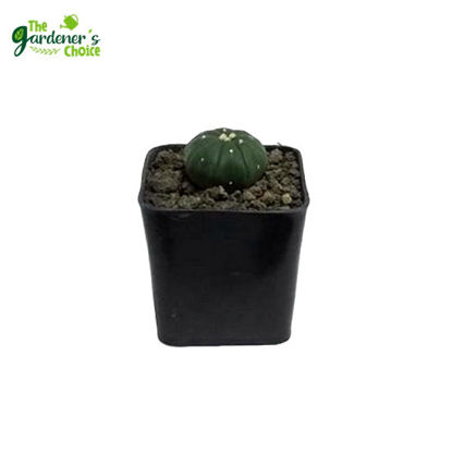 Picture of Astrophytum Asterias