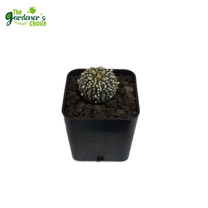 Picture of Astrophytum'SuperKabuto